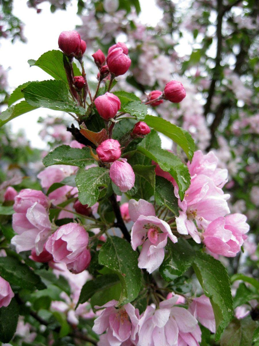 """Kevät kukkii ©Tantero: """"Kaunis koristeomenapuu kukkiin keväässä."""""""