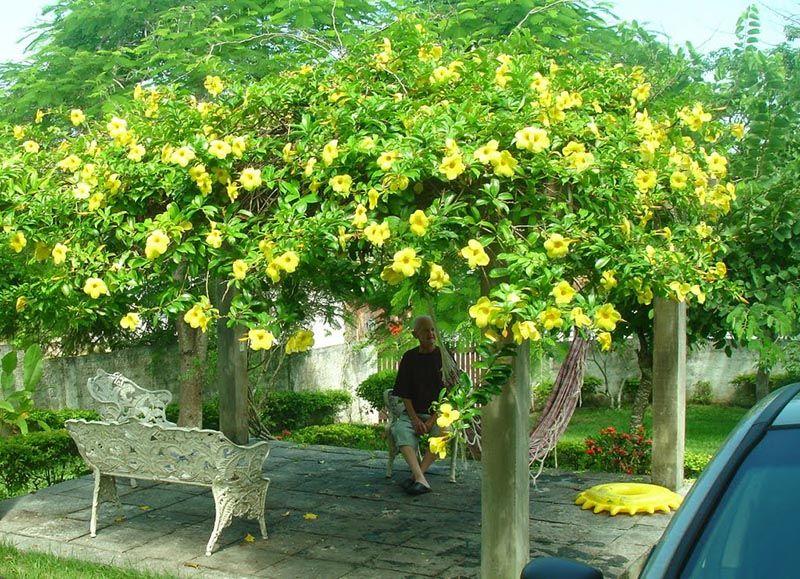 pegolado coberto com a planta trepadeira alamanda, da variedade amarela