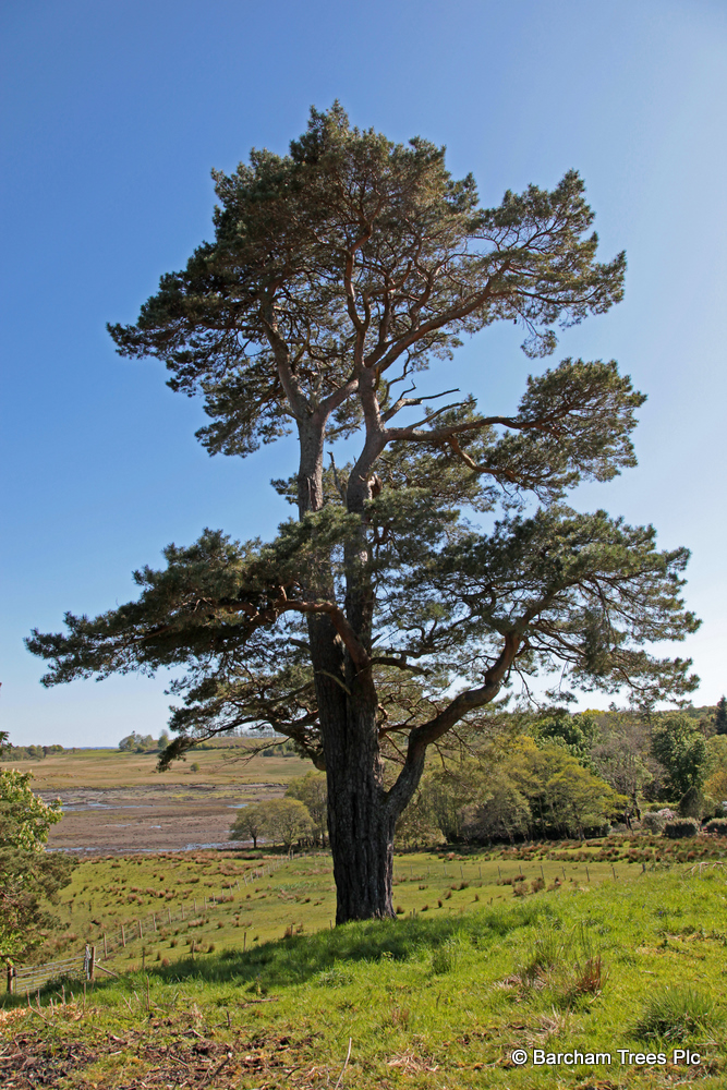 Scots Pine Barcham Trees Buy Trees Online Conifer Trees Tree