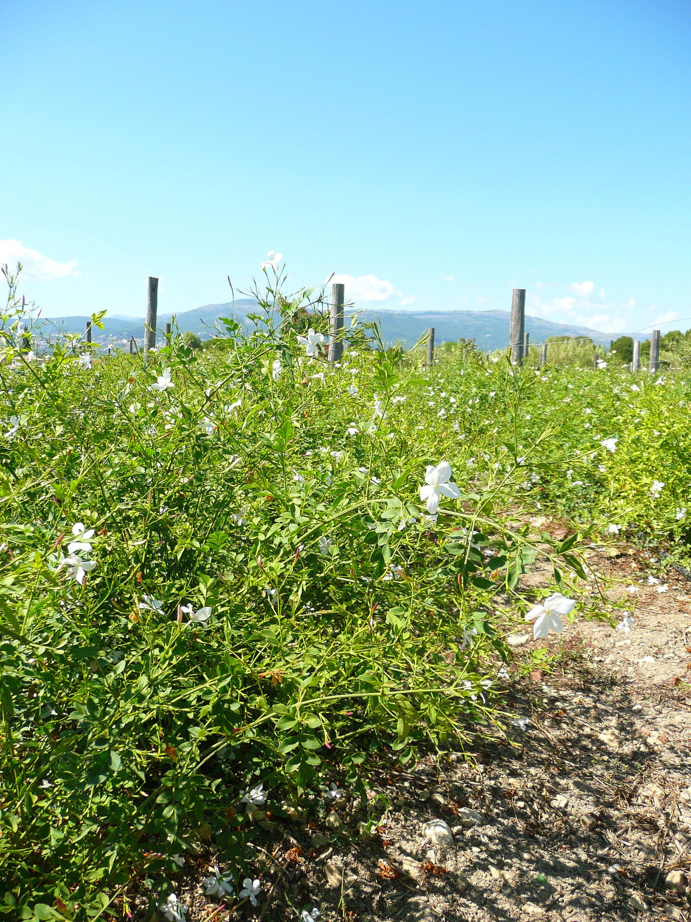 Champs de jasmin à Grasse Jasmine field in Grasse | About perfume ...