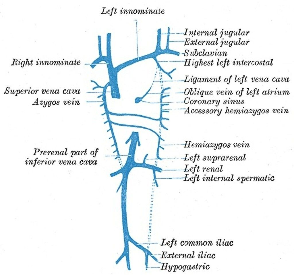 Venous anatomy | Radiology | Pinterest | Radiology