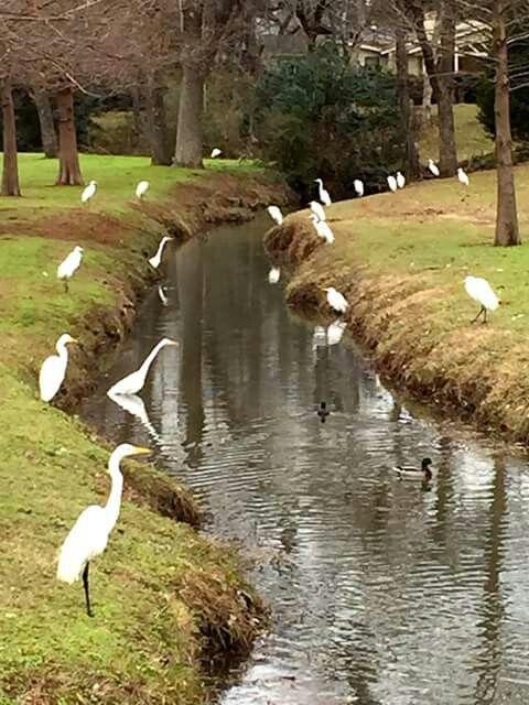 White Rock Lake - egrets