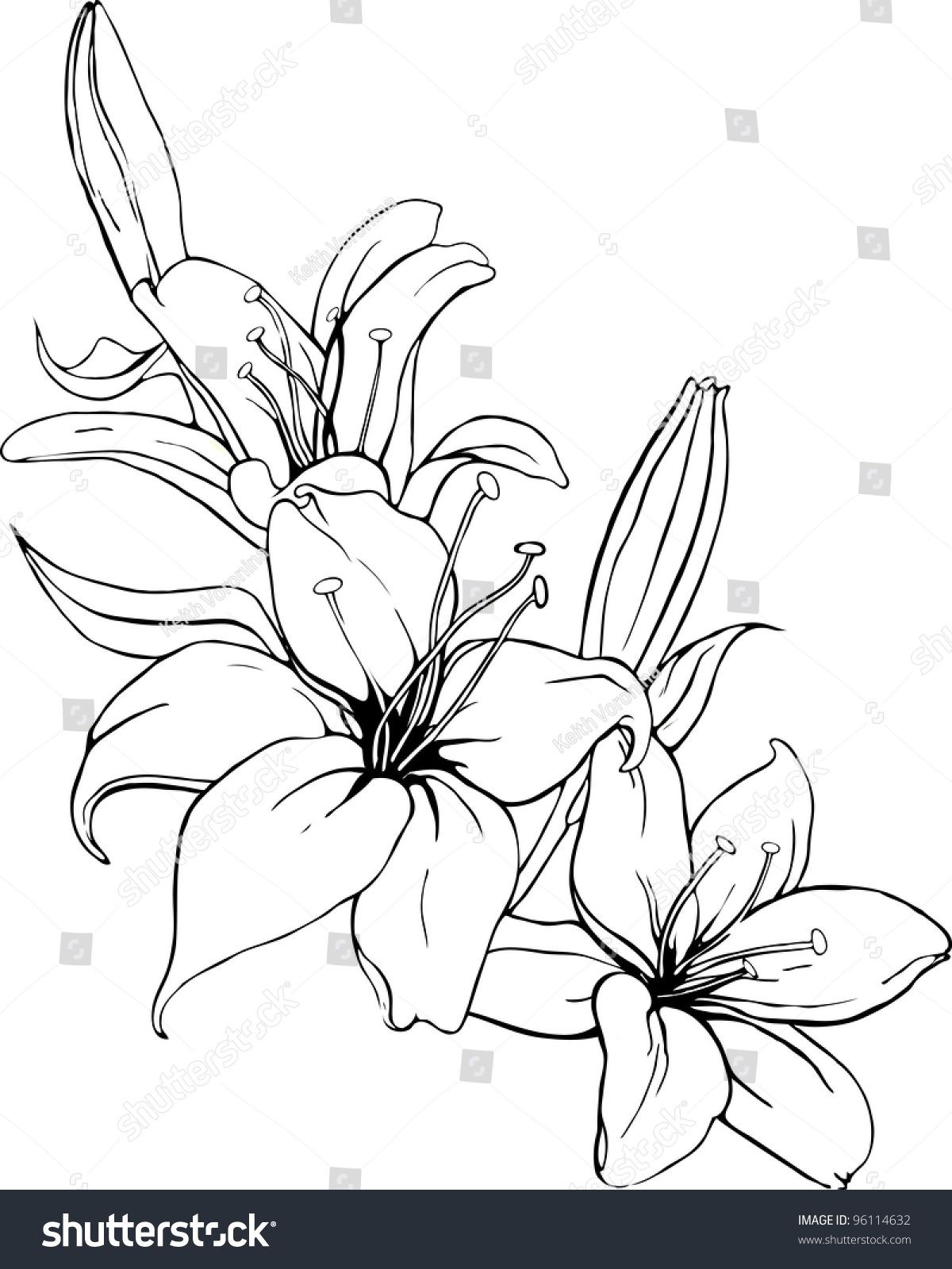 Vector illustration of lily in black and white colors