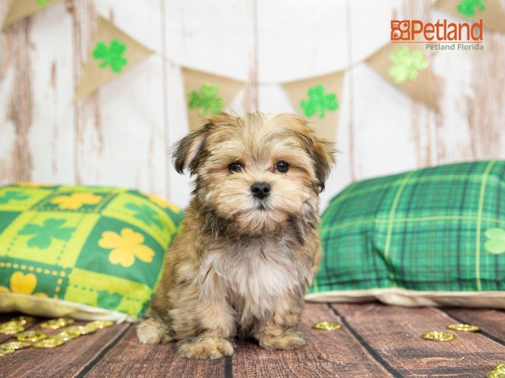 Puppies For Sale Morkie puppies, Morkie puppies for sale