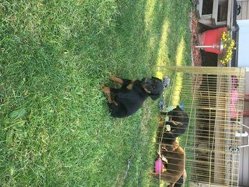 Litter Of 7 Doberman Pinscher Puppies For Sale In Elkhart Il Adn
