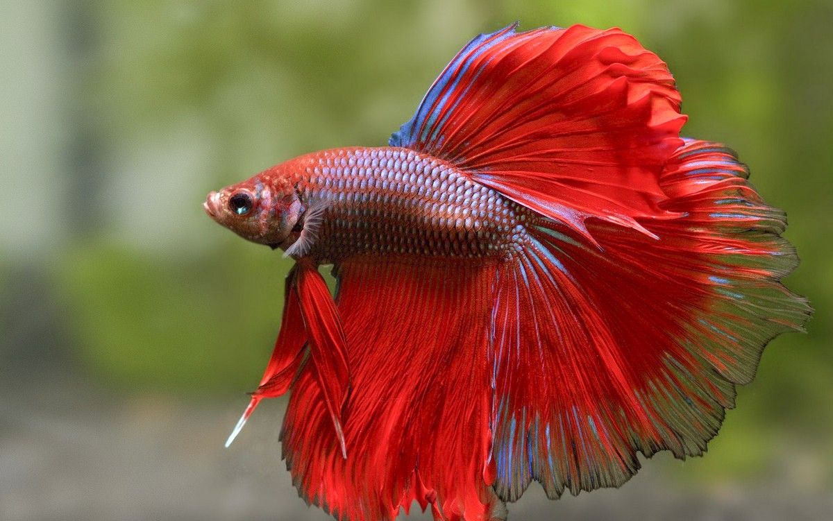 Tri colors betta fish | Betta Fish / Siamese Fighting Fish ...