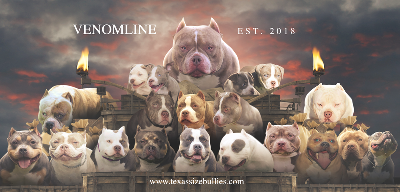 Top American Bully Bloodline Venomline American Bully Pocket