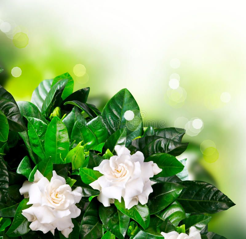 Gardenia Flowers Jasmine Beautiful Bokeh Aff Flowers Gardenia Jasmine Bokeh Beautiful Gardenia Candle Fragrance Oil