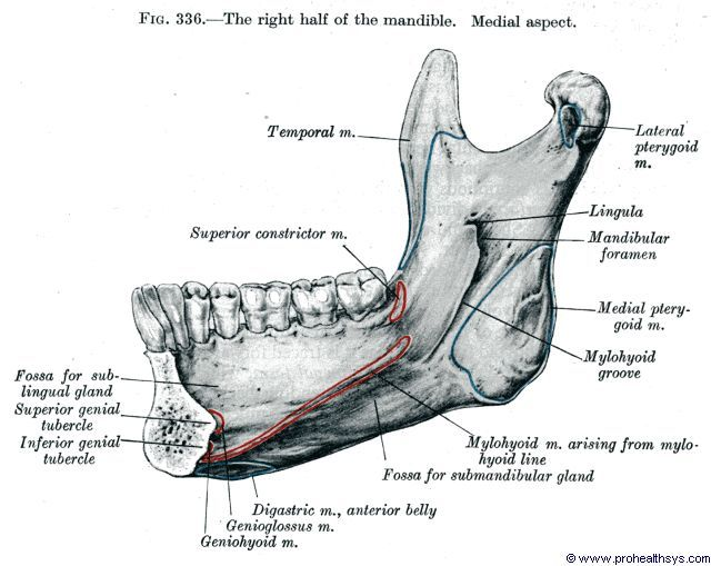 the right half of the mandible. - grays anatomy | visually, Human Body