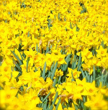 Field Of Yellow Daffodils Daffodils Are The Flower For March And Represent Chivalry In The Language Of Flowers Yellow Daffodils Daffodils Daffodil Day