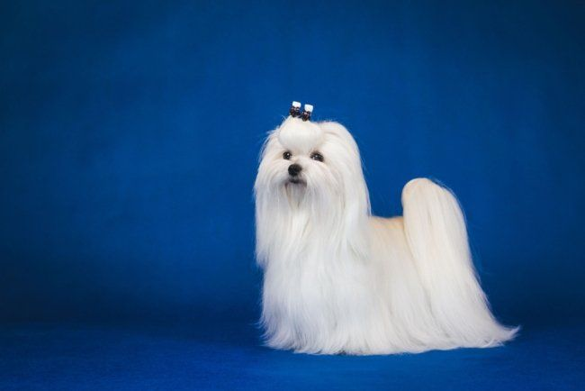 Small Hairy Dog Maltese In Blue Background Hairy Dog Bichon Frise Dogs Dogs