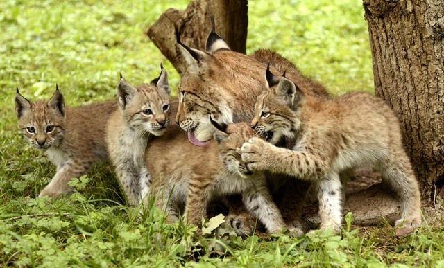 familie der katachtigen de lynx heeft speciale eigenschappen lange poten korte staart een. Black Bedroom Furniture Sets. Home Design Ideas