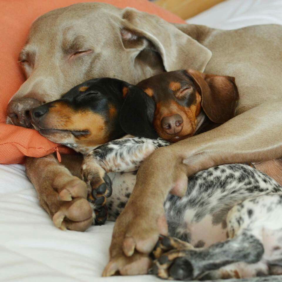 Pin by Sharon Didden on Daschhounds Cute dogs, Dog love