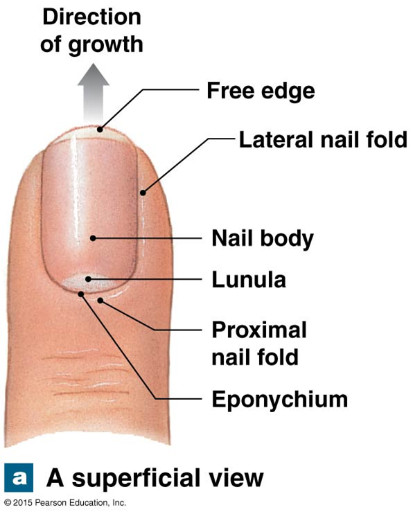a superficial view of the structure of a nail
