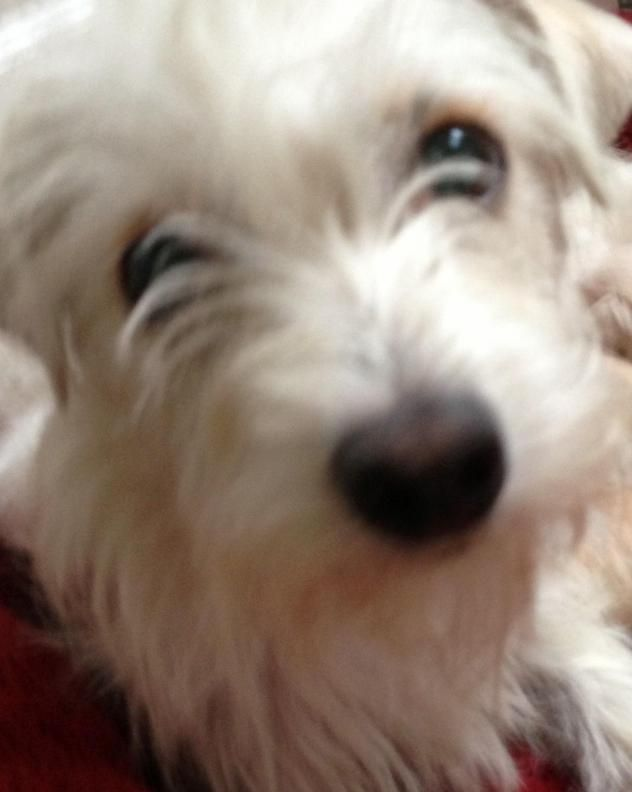 Adopt Fiji on | Tibetan terrier, Terrier mix and Terrier