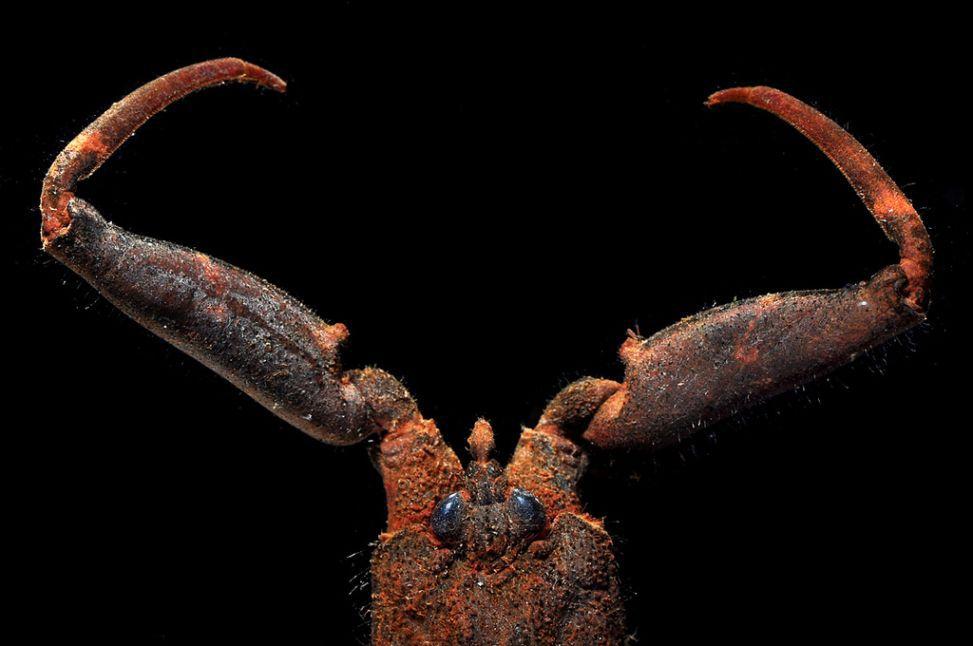 Mangrove Water Scorpion