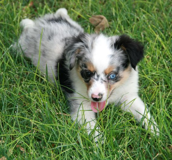 Toy Australian Shepherd Puppies For Sale In Blue Merle Red Merle