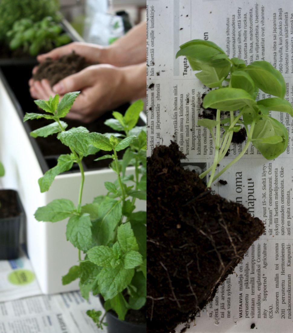 homevialaura | urban gardening | planting herbs | Lechuza Trend Balconera