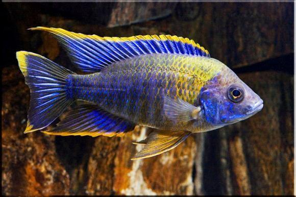 Red Top Lwanda Confusion Cichlids Malawi Cichlids Tropical Freshwater Fish