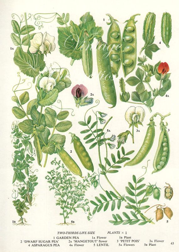 Vintage Botanical Print Antique Peas Plant Bookplate Art Vegetables P