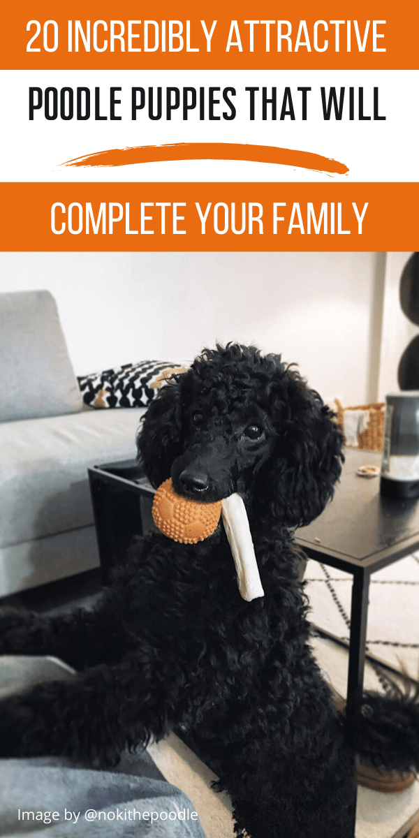 Poodles are considered to be the best breeds to own as there are extremely sensitive and much attached. Poodle puppies are one of the cutest and eye-catching puppies ever. #poodlepuppy #poodlepuppytraining #poodlepuppies #cutepoodlepuppies #dogsandpuppiespoodle