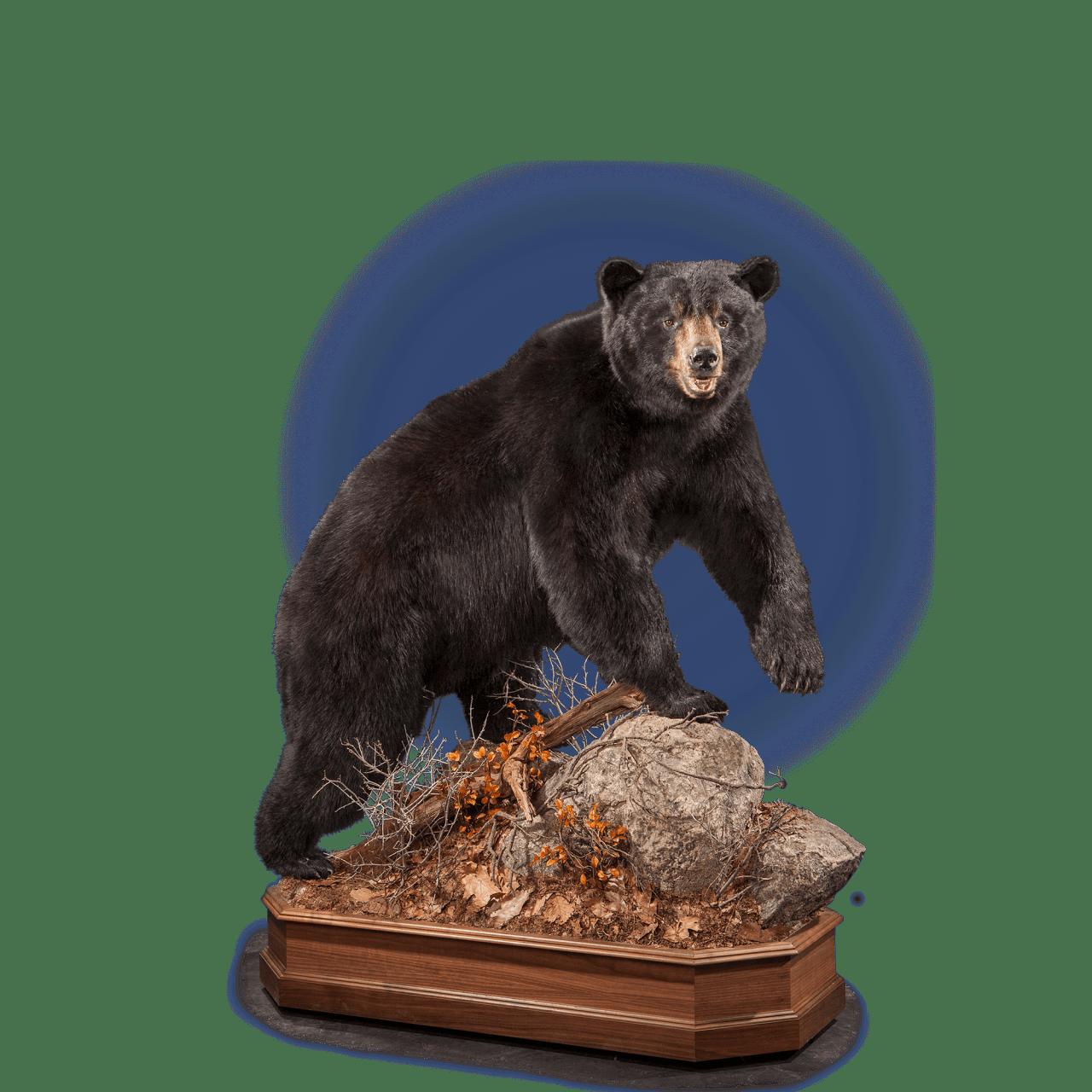 Black Bear Bb121 Our Work Kanati Studio Black Bear Bear Mounts Bear