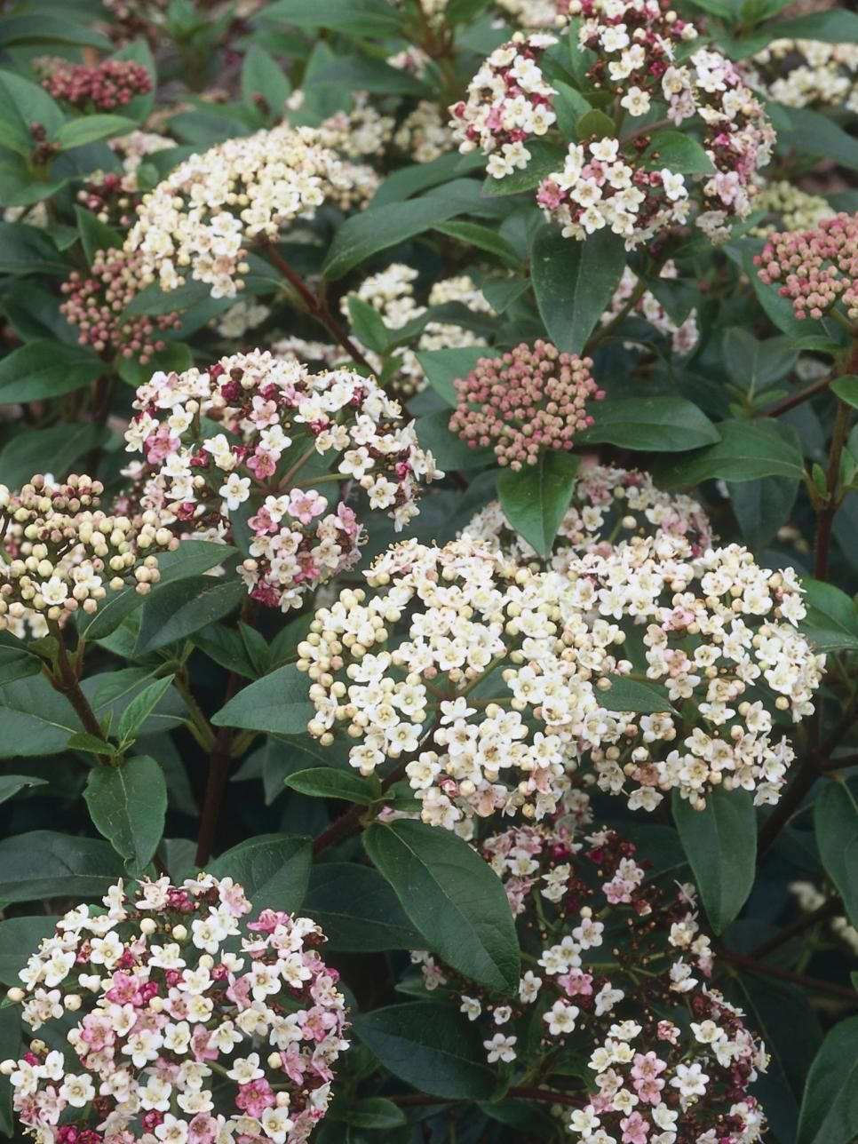 Viburnum Tinus Eve Price A Dense Evergreen Shrub With Cers Of White Flowers Followed By Blue Black Fruits H 10 Ft 3 M S