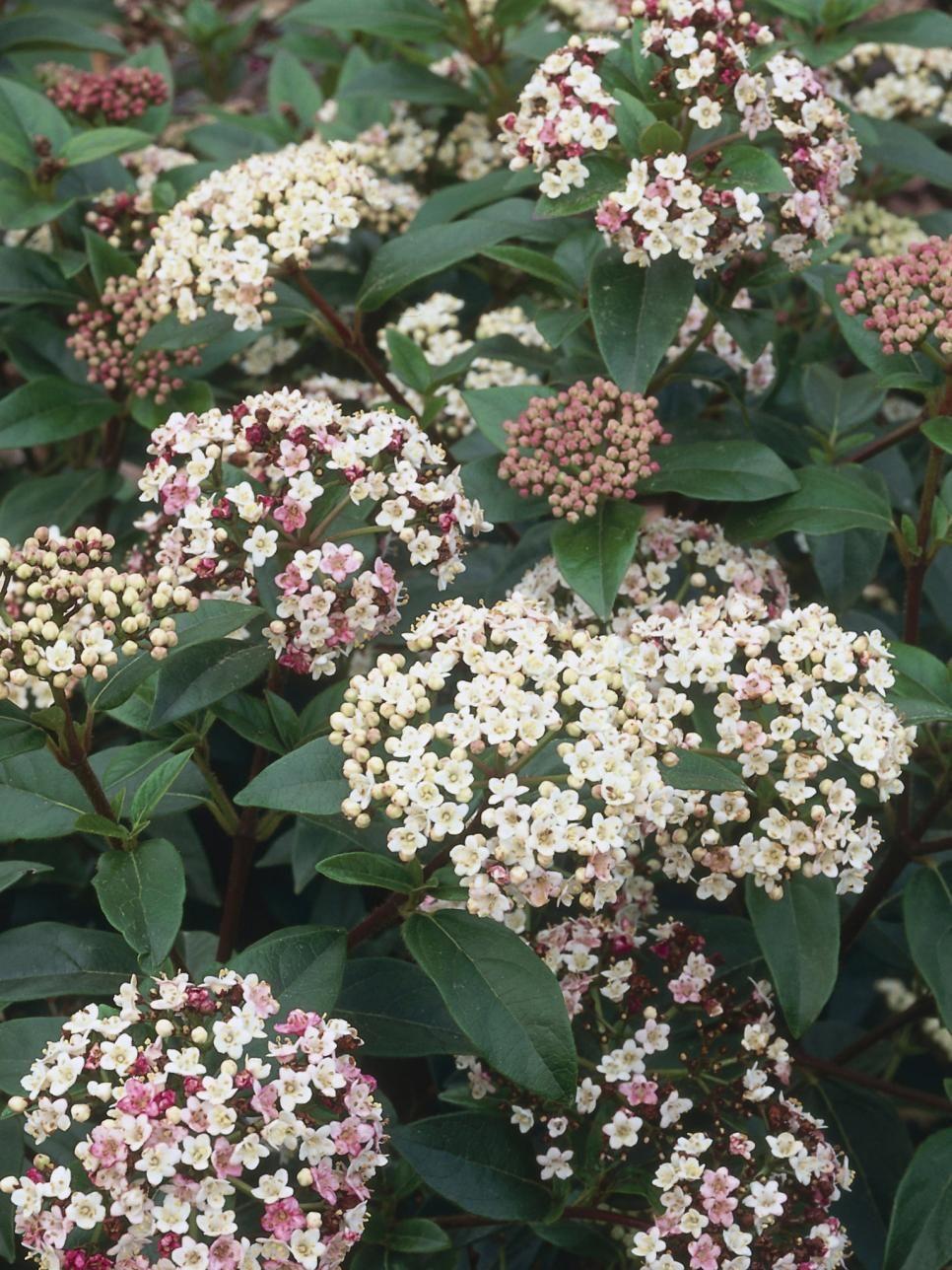 Perennials For Shade Pinterest Evergreen Shrubs White Flowers