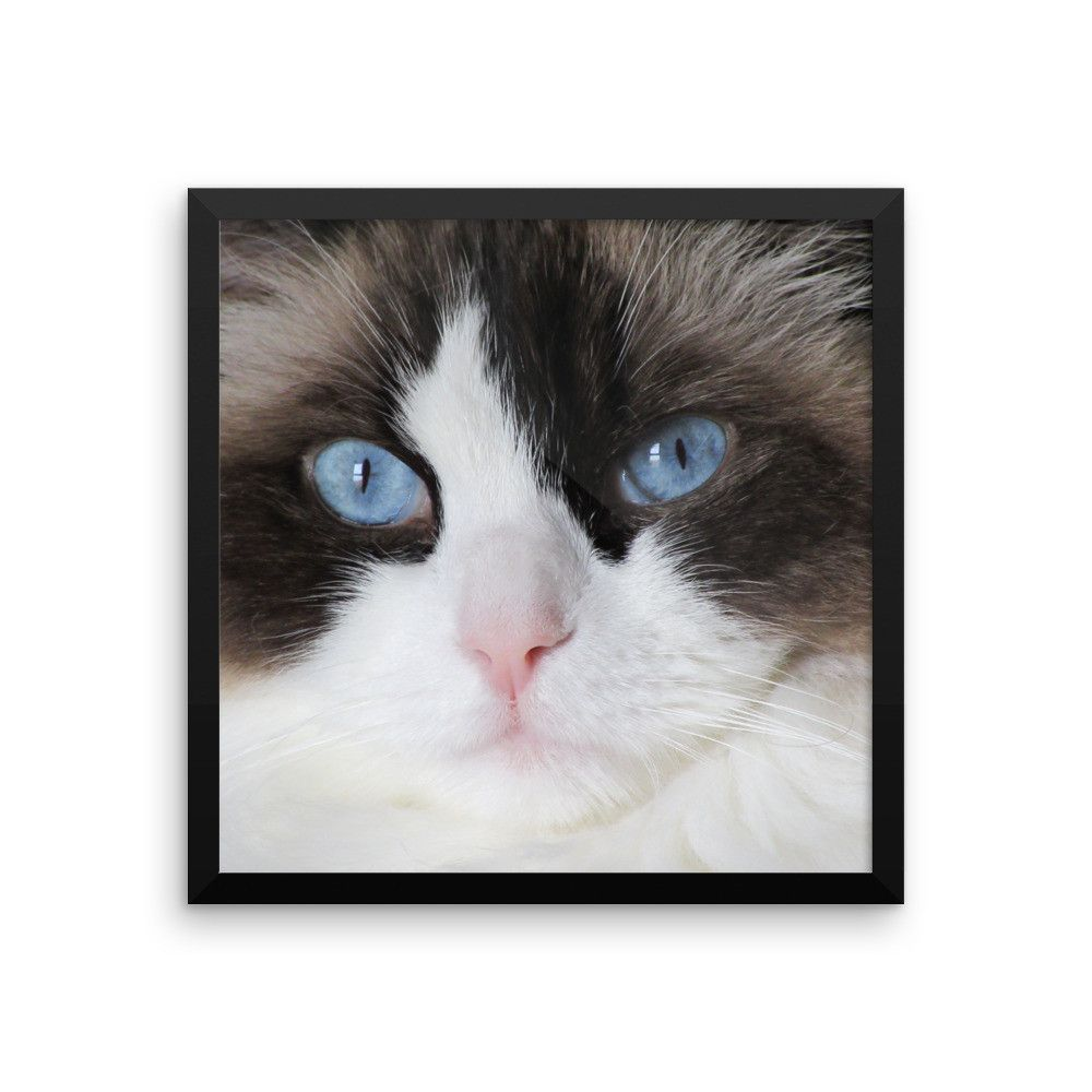 Most Up To Date No Cost Ragdoll Cats Patronus Thoughts The Massive Weak Ragdoll Is Often A Loving Accessory For Virtually Any In 2020 Cat Frame Ragdoll Cat Cat Vs Dog