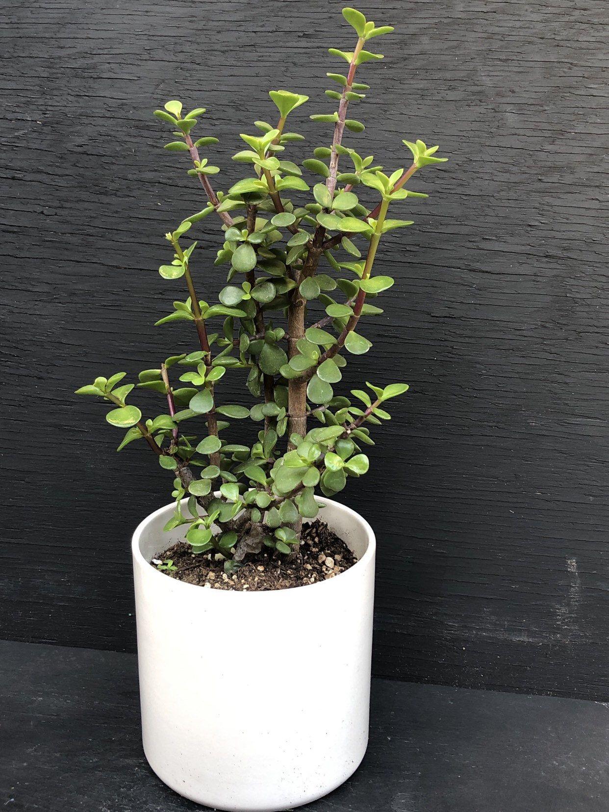 Elephant bushportulacaria afradwarf jade plantgreen