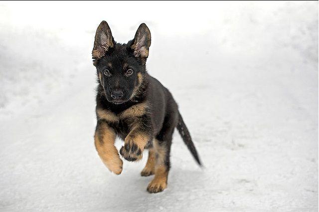 German shepherd puppies #germanshepherd | Want a loyal friend? Get a ...