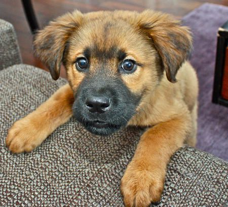 Watson, the chowshepherd pup. Puppies, Mixed breed