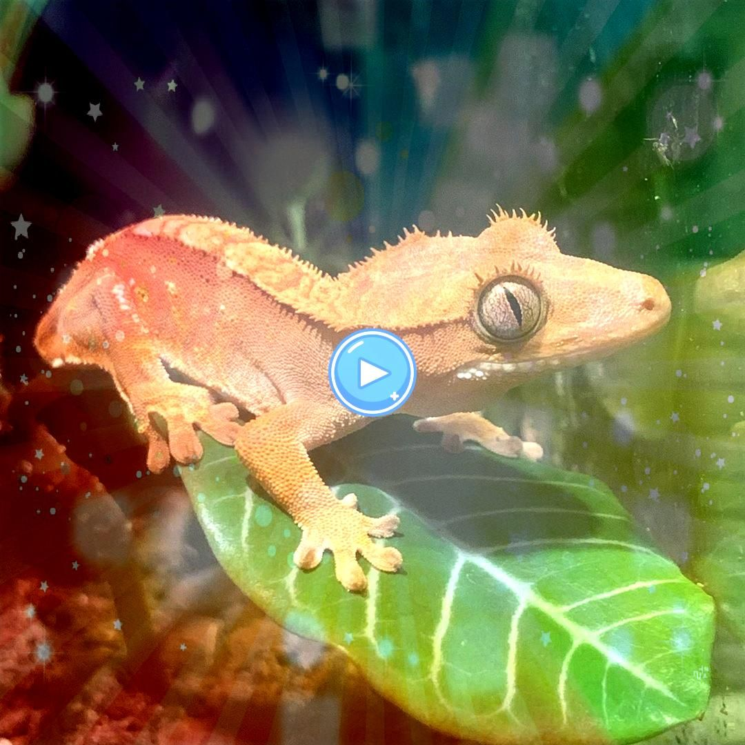 out on a leafHanging out on a leaf Extreme Harlequin Crested Gecko Lagartijo gecko lizard  Reptiles Keeping and Breeding Crested Gecko Lizards  Also buy this artwork on w...
