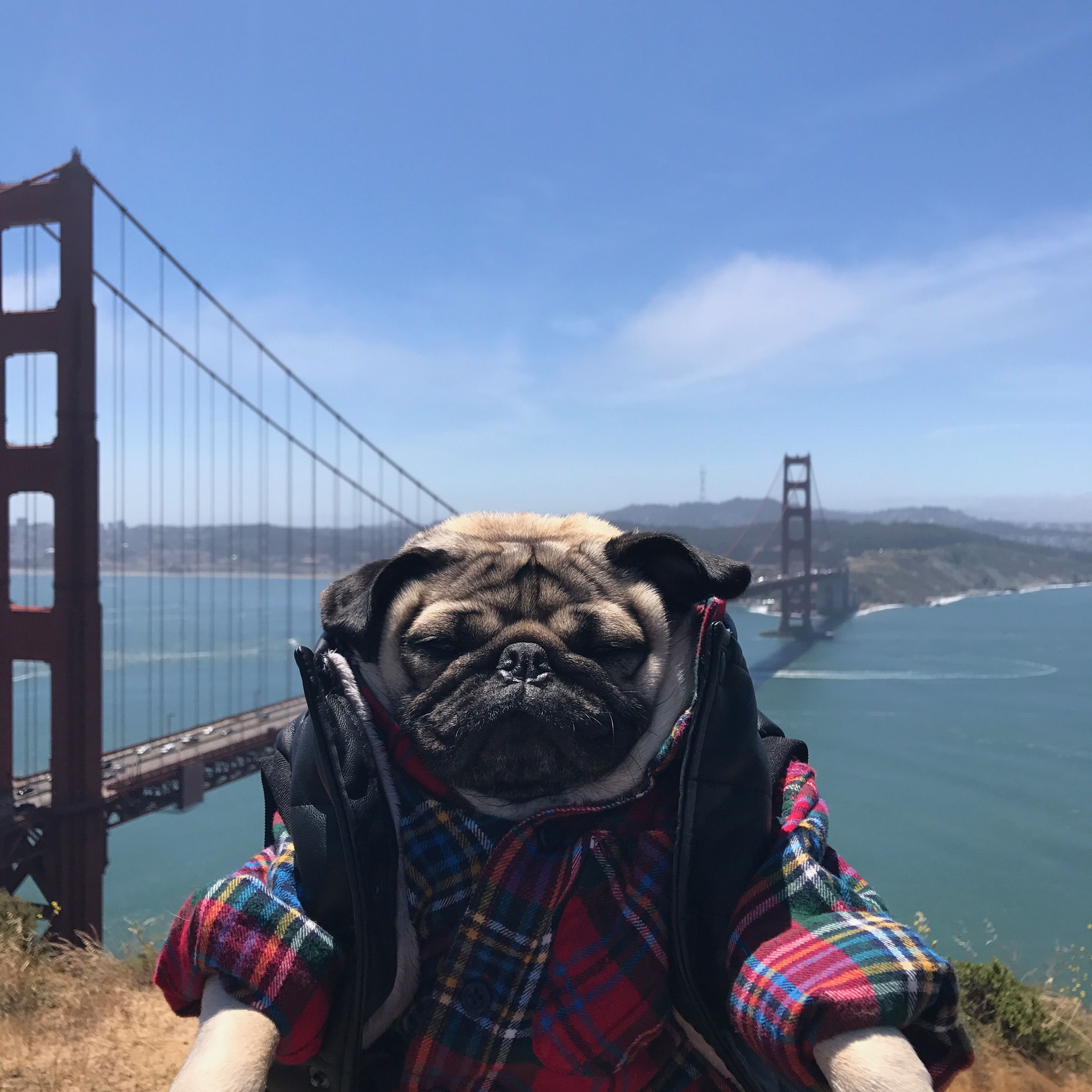 Doug The Pug In San Francisco With Images Pugs Funny Doug