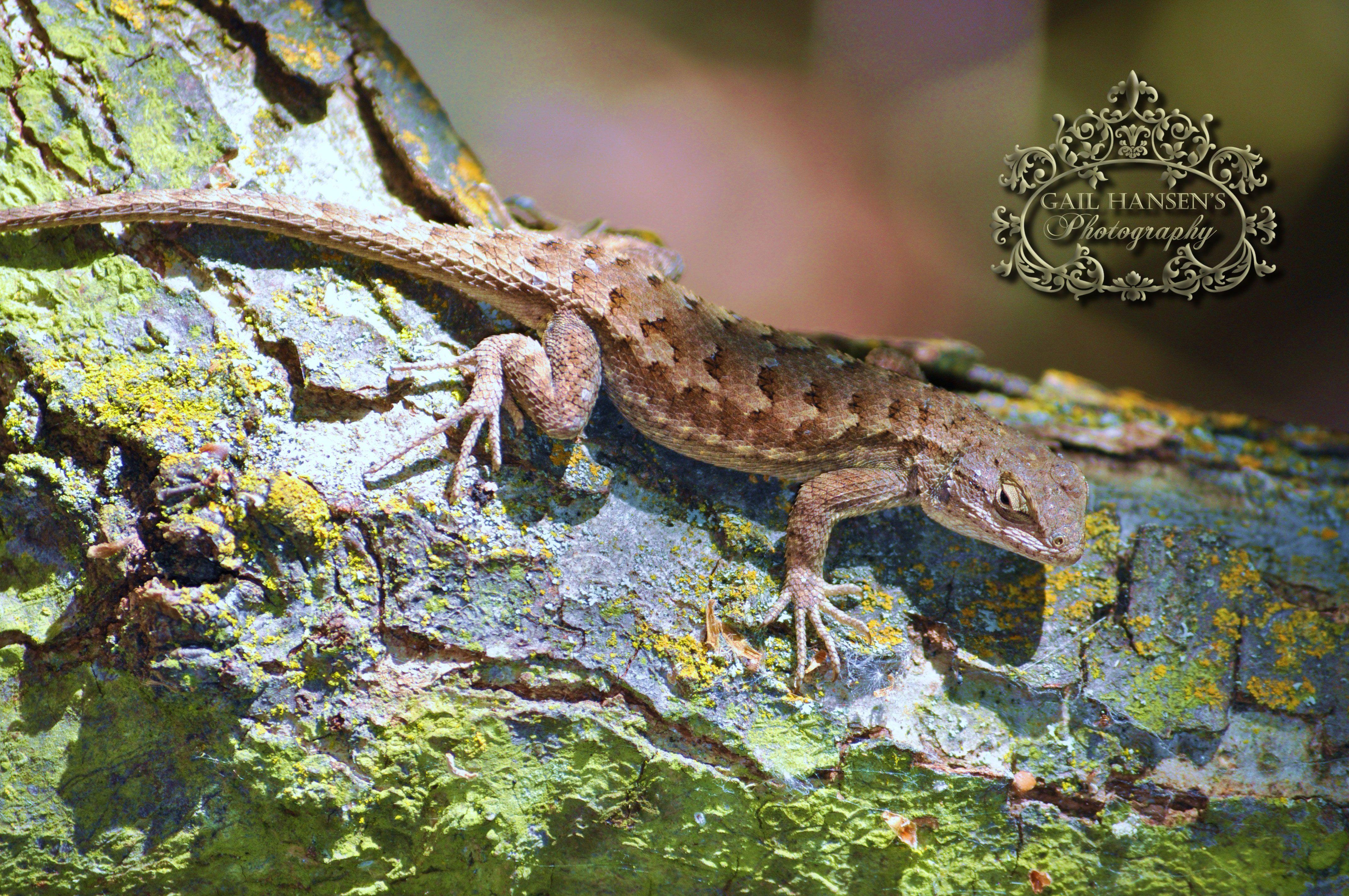 blue belly lizard my personal photography pinterest lizards