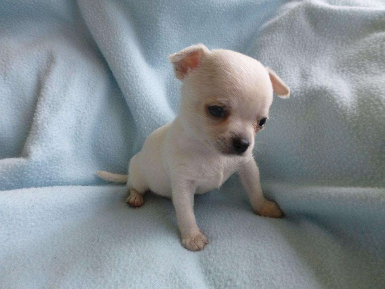 pure white chihuahua Google Search Chihuahua, Puppies