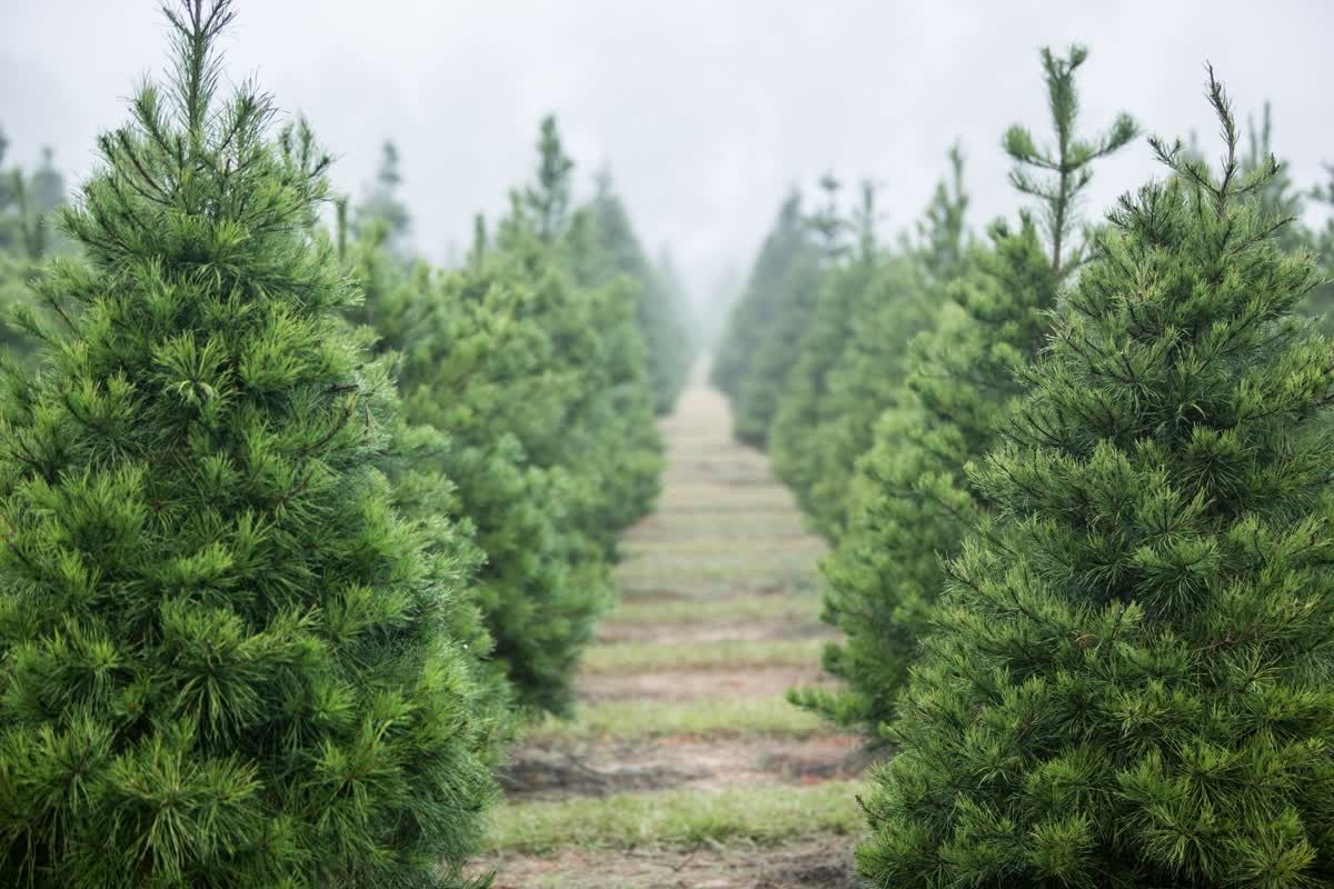 Brewer S Christmas Tree Blueberry Farm In Midway Ga Made The List Of Best Christmas Tree Farms In The Sout Cool Christmas Trees Christmas Tree Farm Tree Farms