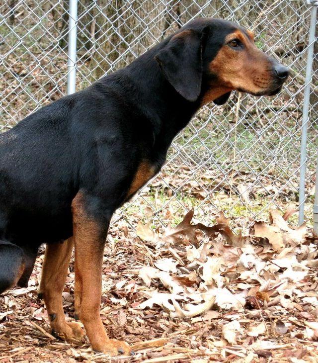 Black Tan Coonhound Pointer Mix F Named Adiva In Bishop Ga