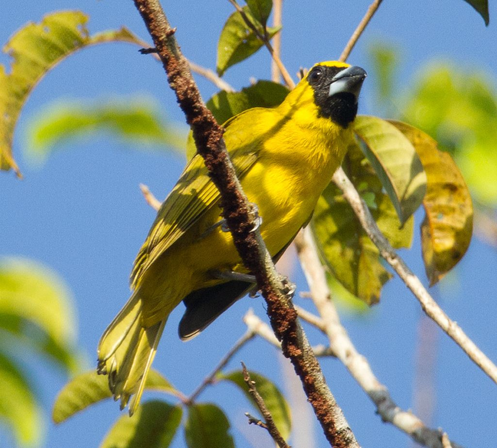 Caryothraustes canadensis - Furriel - Pesquisa Google