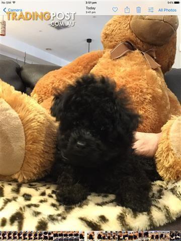 Poodle Puppies For Sale In Caroline Springs Vic Poodle Puppies