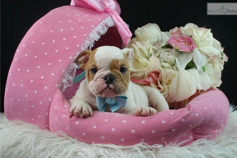 English Bulldog Puppy For Sale Near West Palm Beach Florida