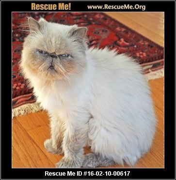 Bethany a Himalayan needs a good home, Youngsville NC