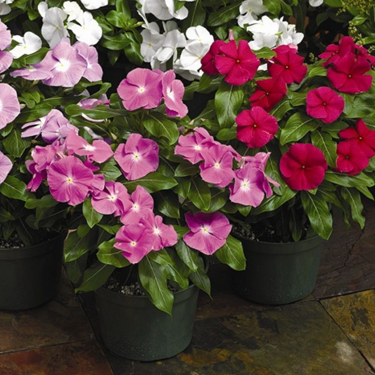 бальзамины цветы садовые фото и названия там валера