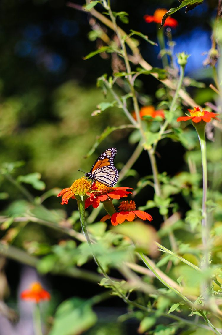 Butterfly Garden Attracting Migrating Monarchs — Spindle