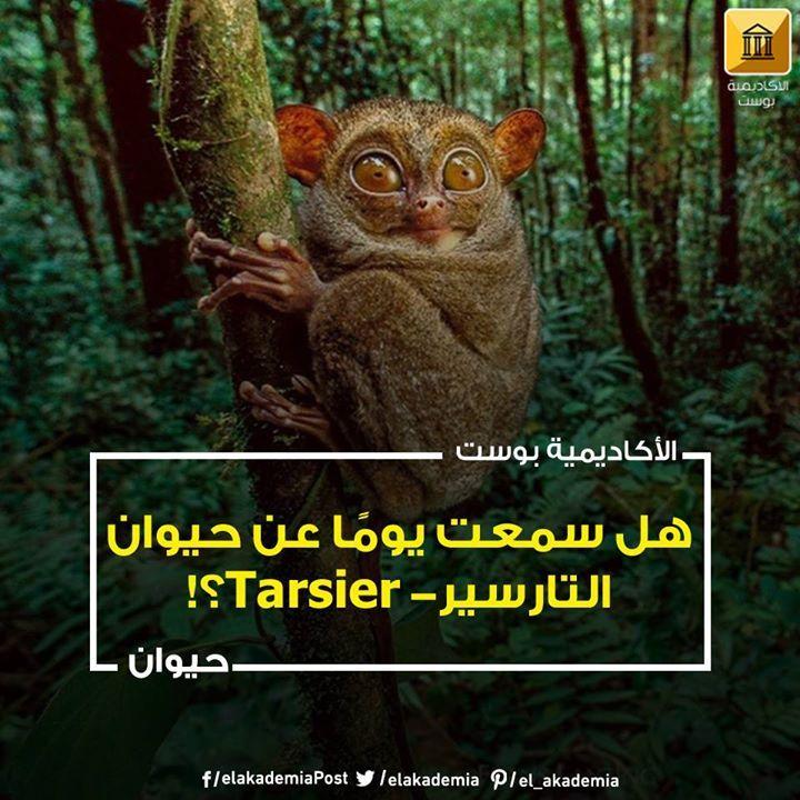 حيوان التارسير Tarsier اللطيف الهادىء لكن لا تنخدع حيوان التارسير Tarsier وهو أحد أصغر الحيوانات على الإطلاق في العالم يبلغ طوله حوالي خمس Animals Owl Bird