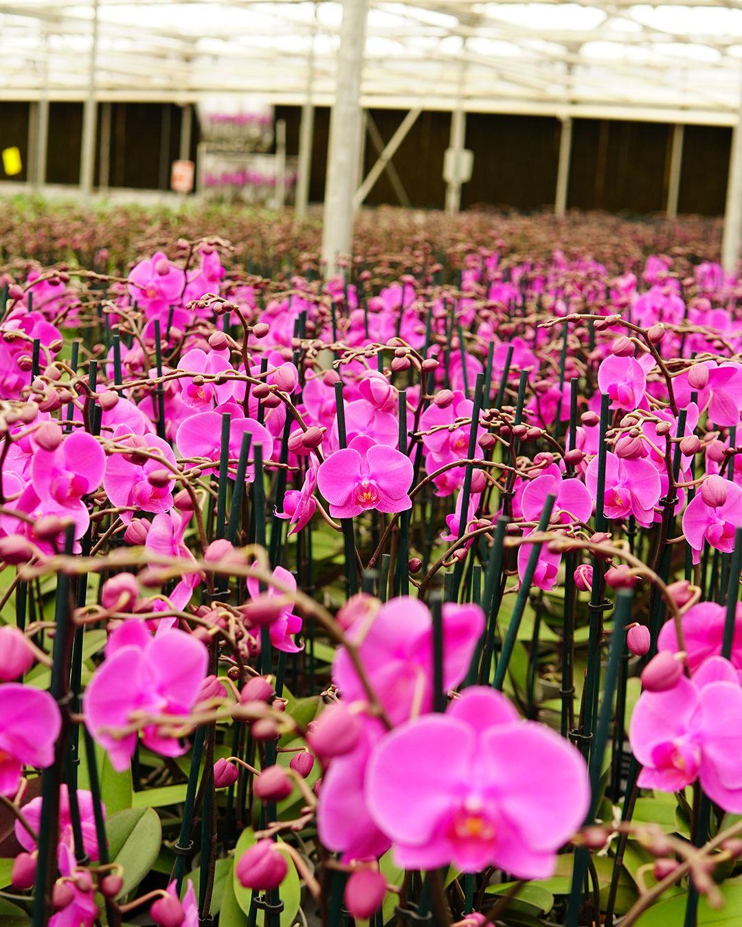 Gardenkoala ailesi olarak alanlarında uzman deneyimli üretim şefleri, ziraat mühendisleri, ziraat teknisyenleri ile çalışıyoruz. Kazandığımız tecrübeler ve 180 kişiden oluşan başarılı kadromuz sayesinde sektörde birçok ilke imza attık, bu noktada ülkemizin ilk ve en büyük orkide üreticisi olmanın gururunu yaşıyoruz. #gardenkoala #bitkibakımı #sera #bitkiüretimi #planet #green #nature #süsbitkisi #çiçek #çiçekçi #evdekorasyon #ofisdekorasyon #çiçeksüsleme