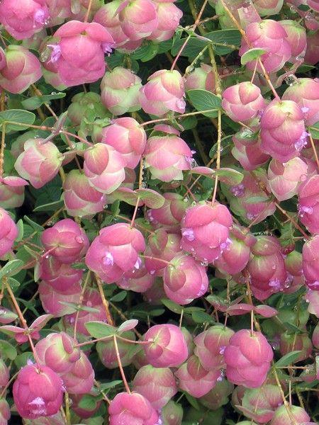 Oregano Barbara Tingey Origanum Rotundifolium X Scabrum Pink