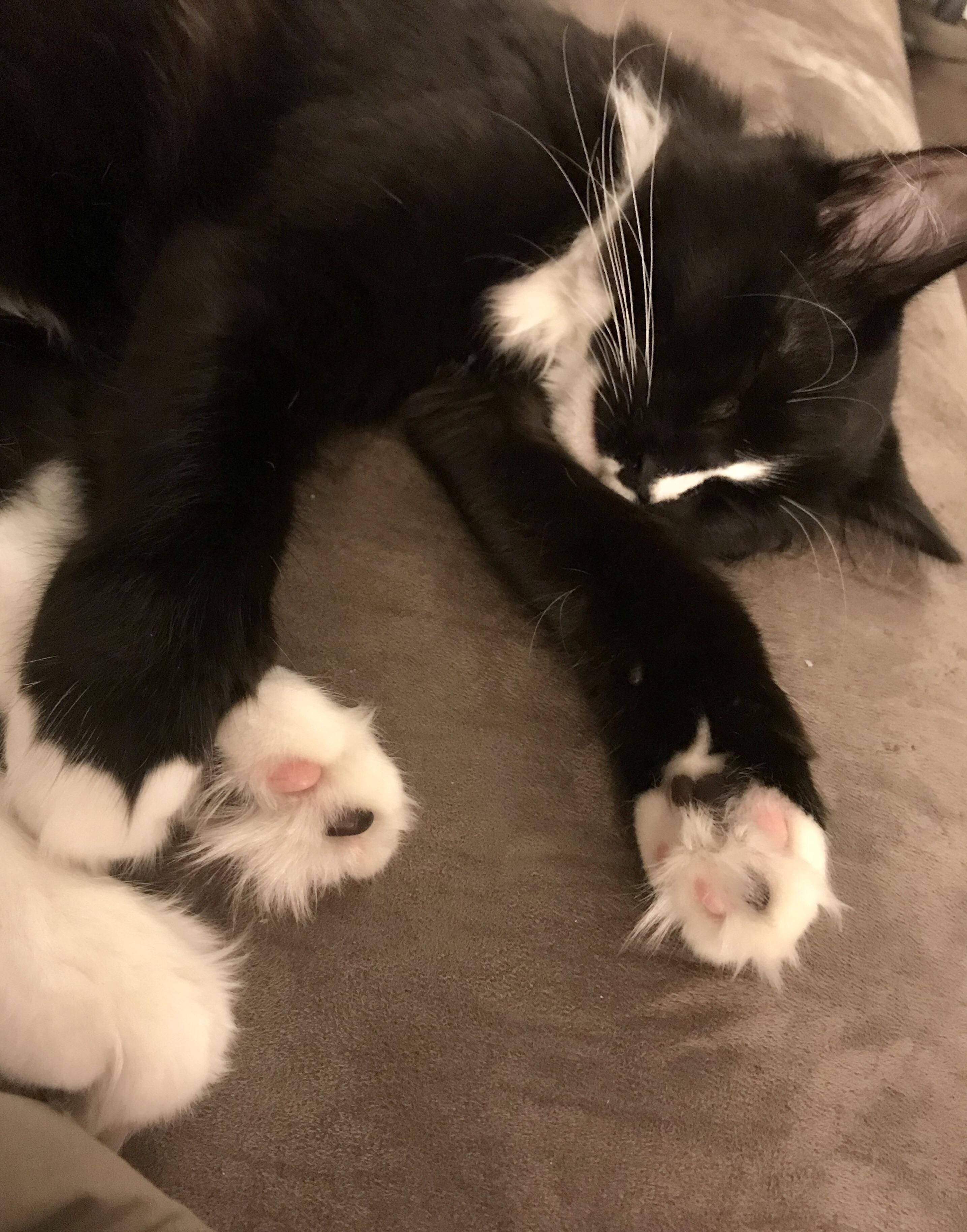 Just Look At Those Fluffy Cat Feet Hello There Bright People Are You Catlover Or Have You Any Pretty Cats I Think You Love Fluffy Cat Bicolor Cat Cats