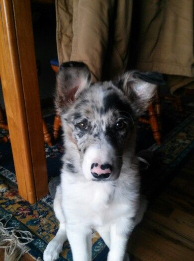My Blue Merle Border Collie ~ Kimber