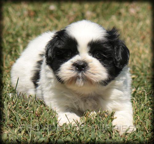 Shih Tzu Puppy For Sale In Wayland Ia Adn 40700 On Puppyfinder